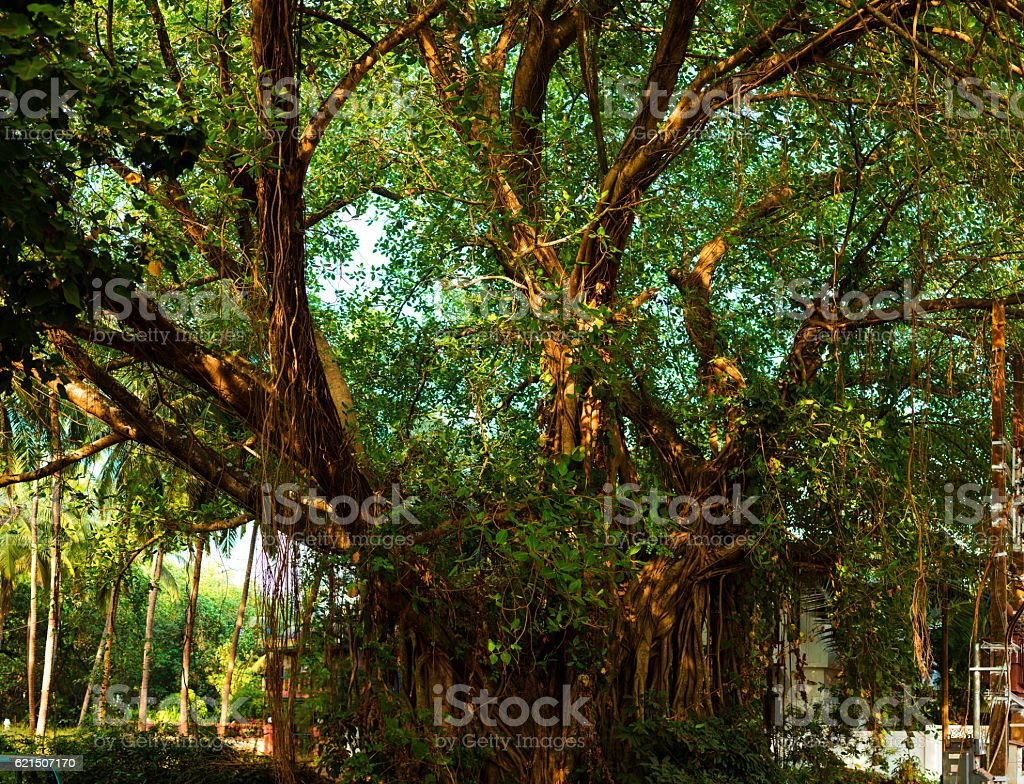 Panorama of the big old tree, India, Goa foto stock royalty-free