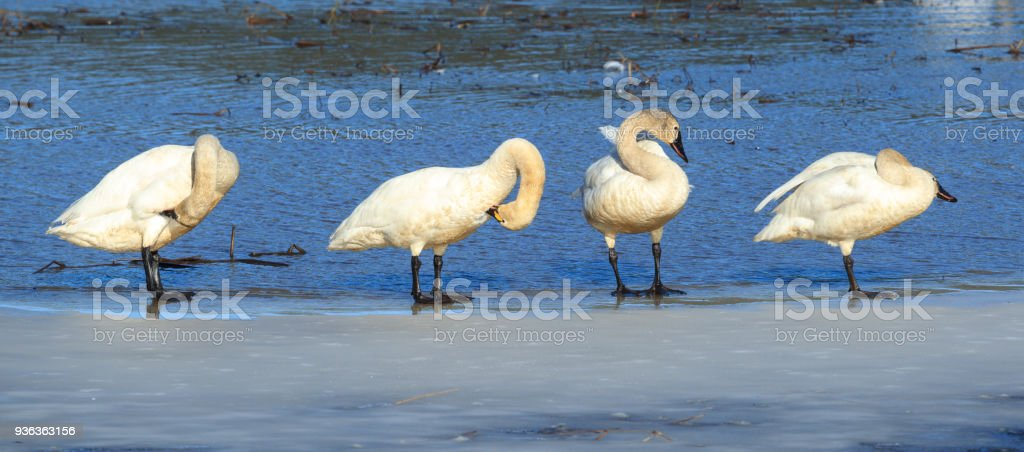 Panorama of tundra swans grooming themselves. stock photo