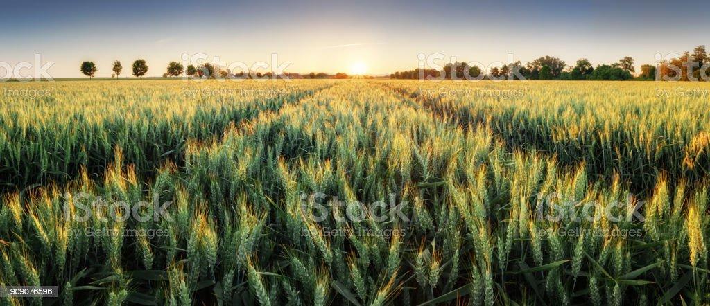Panorama du champ de blé au coucher du soleil photo libre de droits