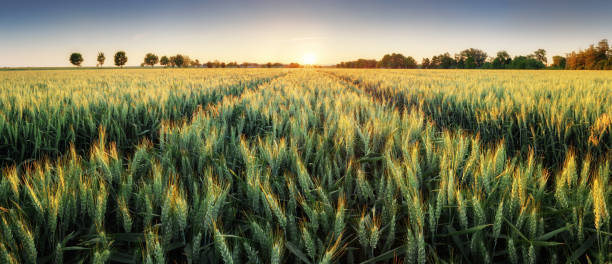 panorama of wheat field at sunset - field stock photos and pictures