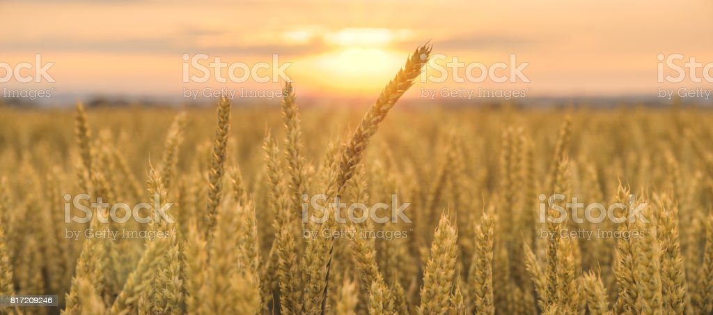 Panorama of wheat field in the morning stock photo