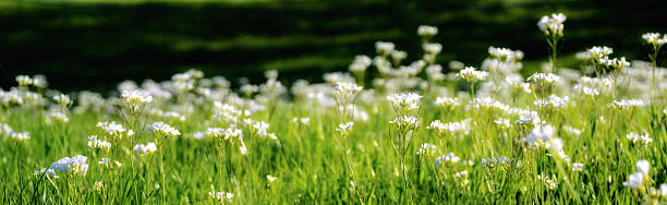 Panorama of White Pearlwort Flowers stock photo