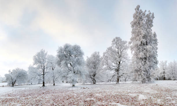 Panorama of Winter forest with snow and tree stock photo