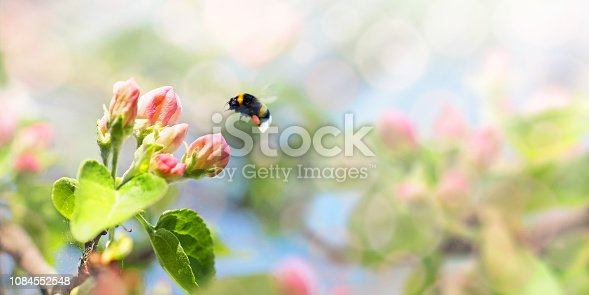 istock Panorama pattern apple tree branch with buds, leaves and pink blossoms, bumblebee. Springtime website banner of of spring tree. Selective focus, sunlight, glitter overlay, paradise 1084552548