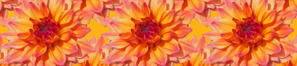 Panorama pattern yellow pink striped head of a dahlia flower picture id1194665256?b=1&k=6&m=1194665256&s=612x612&w=0&h=fobp5c7qme3nvwct7grbh3jfcs6 wlcijxcf r4vk6s=