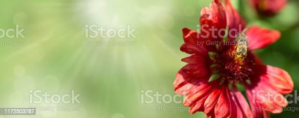 Panorama picture banner with copyspace honey bee sitting on red on a picture id1172503787?b=1&k=6&m=1172503787&s=612x612&h=warx2v 5wpqfmmmdw7uoeqk8u3 oyeytriorpmhutqi=