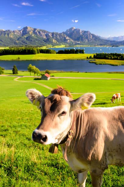 panorama-szene in bayern mit bergen und see forggensee mit herde kühe - allgäu stock-fotos und bilder