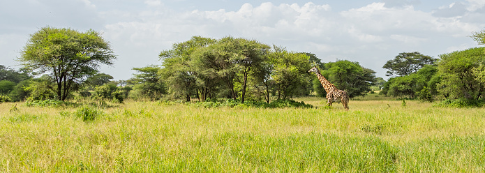 Panorama view of a Giraffe in the Savannah of Tarangire National Park. In the Background there are Trees and Bushes against bright Sky.