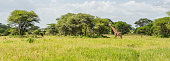 istock Panorama view of a Masai Giraffe in the Savannah 1241572532