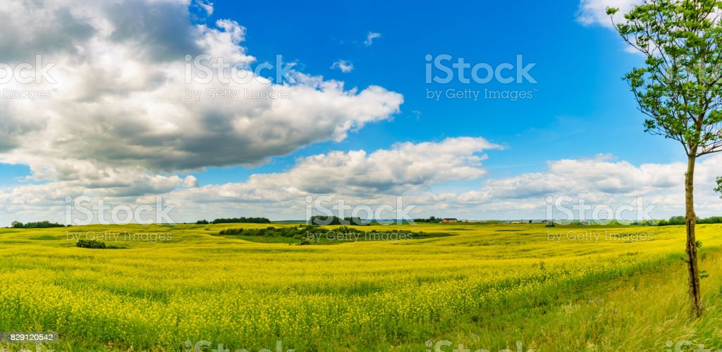 Panorama view of a rapeseed field on sunny summer day stock photo