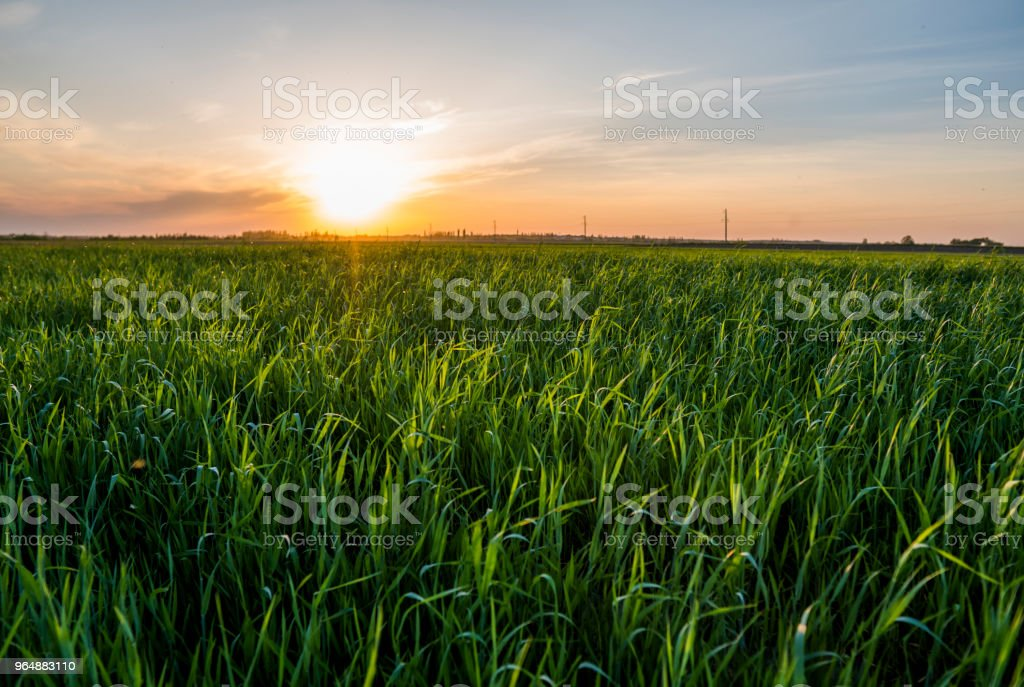 Panorama view of green sprouting rye agricultural field in spring in sunset. Sprouts of rye. royalty-free stock photo
