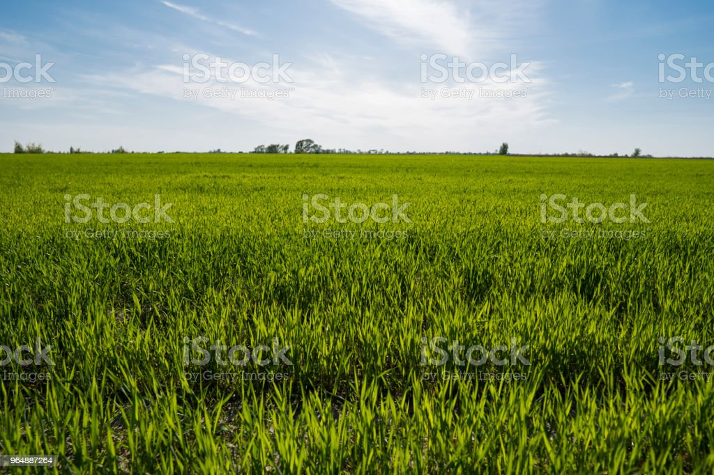 Panorama view of green sprouting rye agricultural field on spring sunny day with blue sky. Sprouts of rye. royalty-free stock photo