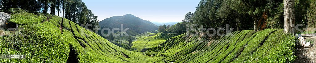 Panorama view of highland tea plantation. royalty-free stock photo
