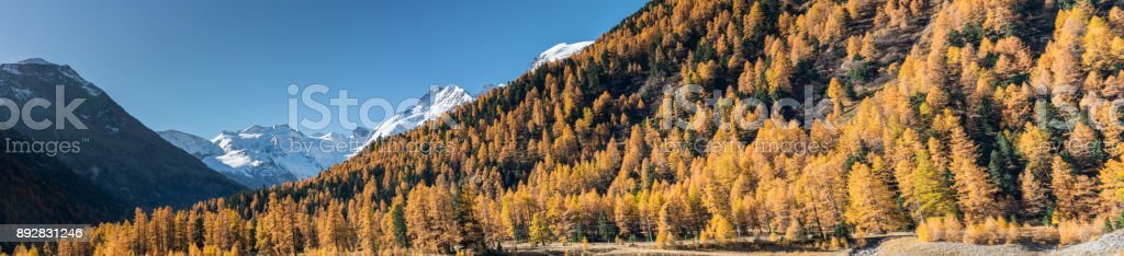 panorama view of larch forest in the Engadin and snowy peaks behind stock photo
