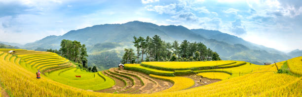 A Panorama view of terraced rice field in harvest season in Mu Cang Chai, northern of Vietnam stock photo