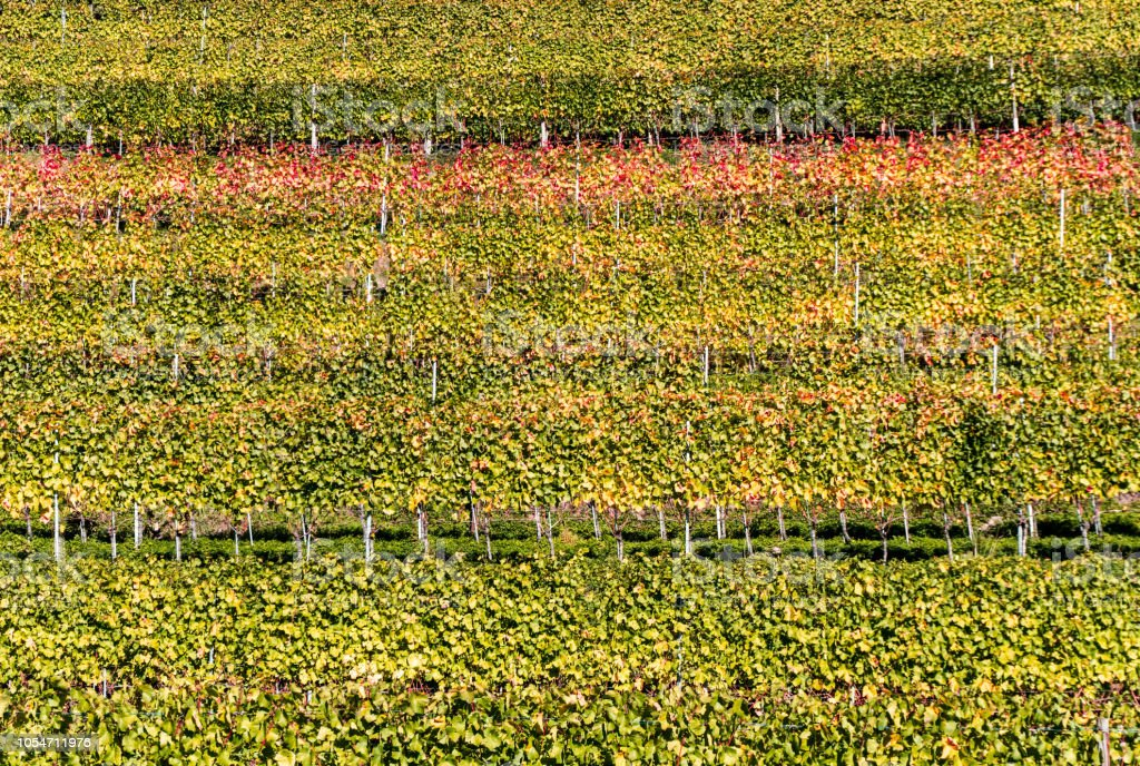 Panorama-Weingarten und Berg-Landschaft in den Schweizer Alpen im Herbst in Herbstfarben – Foto