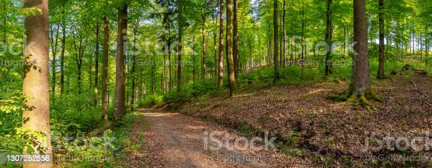 Photo of Panorama with a forest track in a mixed forest in spring in the morning.