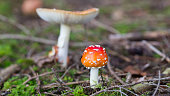 Panorama with fly agaric (latin name: Amanita muscaria). In the background a larger mushroom.