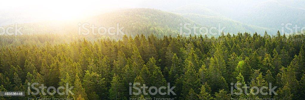 Panorama Luftbild auf geräumigen Pine Forest bei Sonnenaufgang – Foto