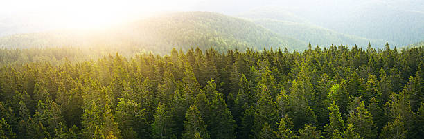 Panoramic Aerial View On Spacious Pine Forest At Sunrise stock photo