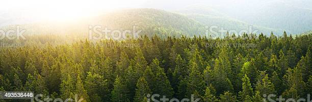 Photo of Panoramic Aerial View On Spacious Pine Forest At Sunrise