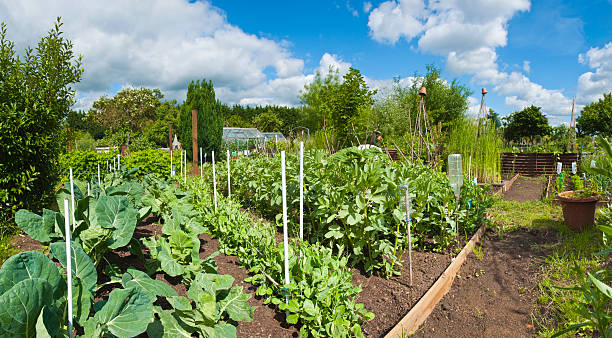 Panoramic allotment greens.  community garden stock pictures, royalty-free photos & images