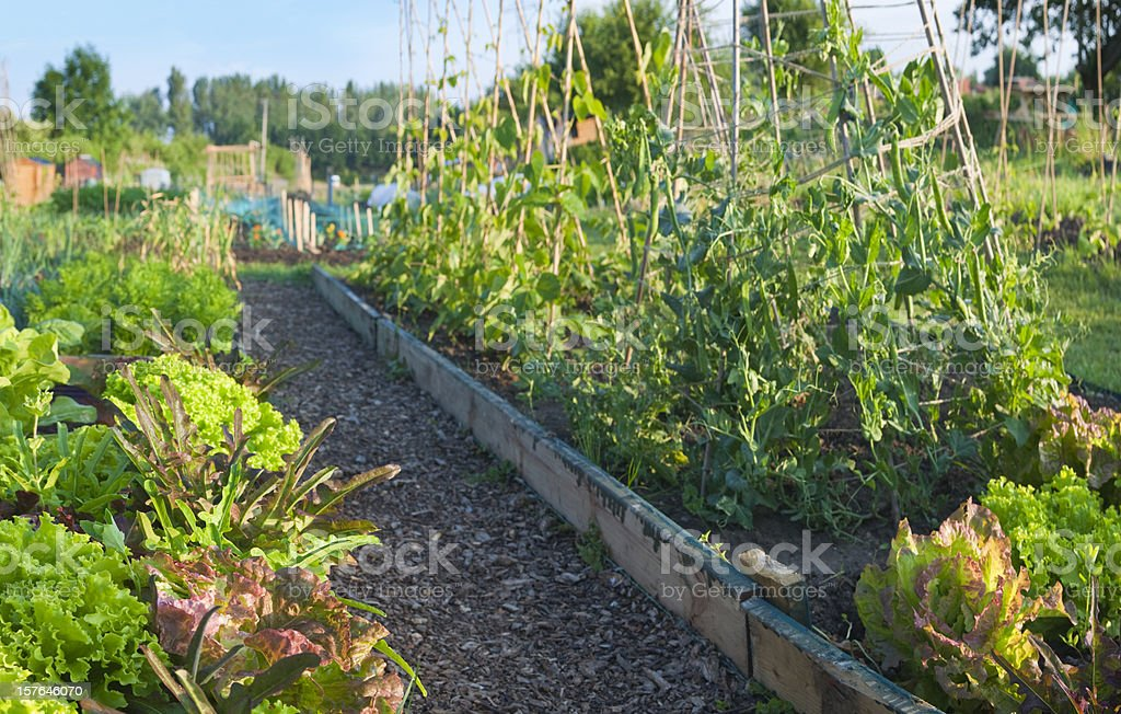 Panoramic allotment plot with salad greens. royalty-free stock photo