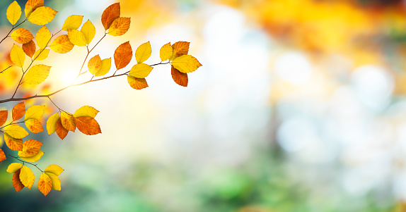 Panoramic background with colorful autumn leaves (beech foliage).