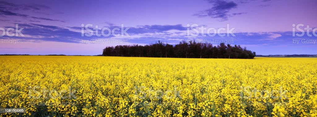 Panoramic Canola Field at Sunset royalty-free stock photo