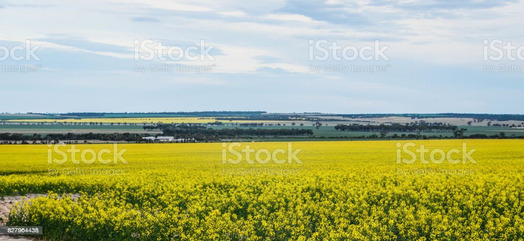 Panoramic Canola Field Landscape stock photo