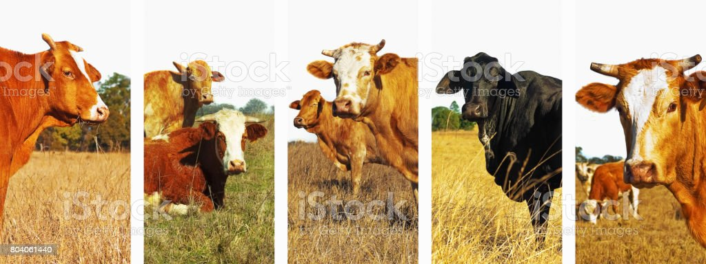 Panoramic cow set banner stock photo