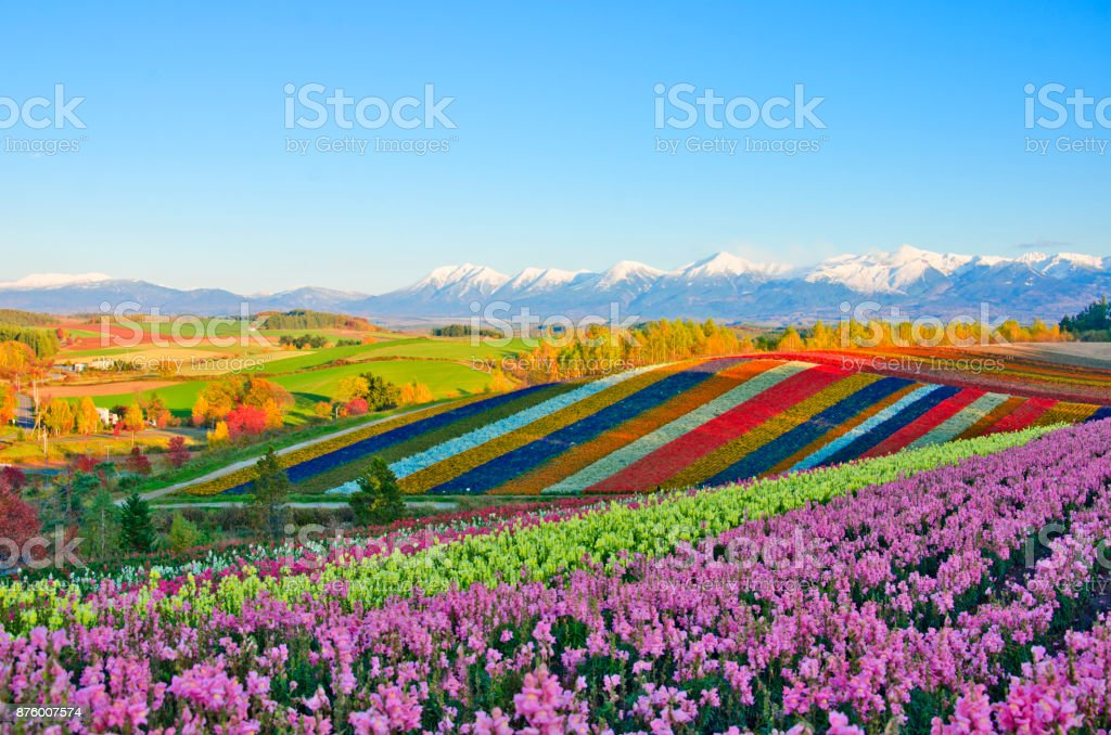 Panoramic Flower Gardens Shikisai hill in Biei, Japan royalty-free stock photo