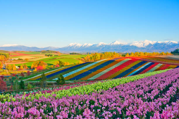 Panoramic Flower Gardens Shikisai hill in Biei, Japan stock photo