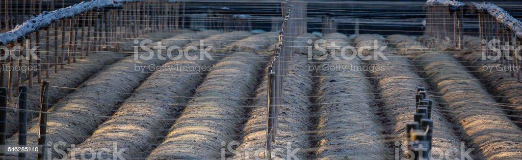 Panoramic Ginseng Field stock photo