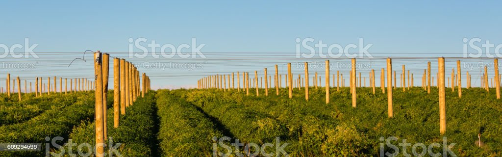 Panoramic image of a ginseng field in Wisconsin stock photo