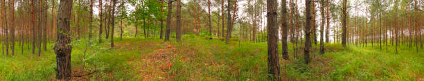 Panoramic image of a grassy pine forest stock photo