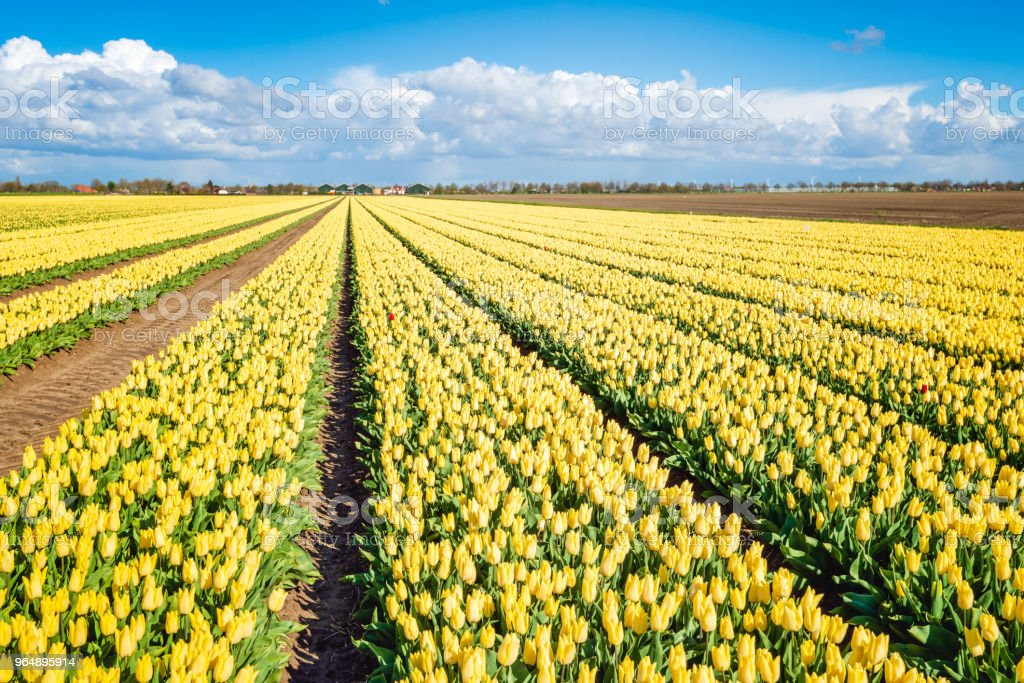 Panoramic image of a large field with bright yellow flowering tulip blooms royalty-free stock photo