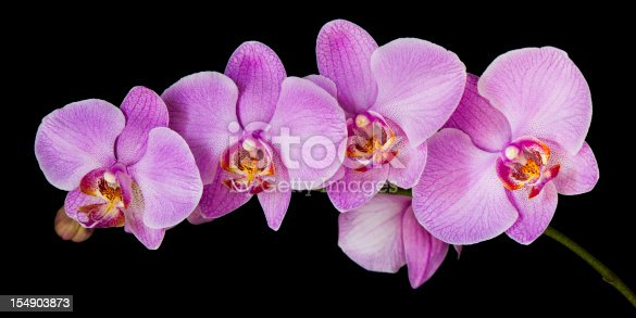 Panoramic image of a moth orchid (Phalaenopsis) isolated on black.