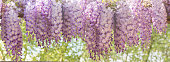Panoramic image of blooming wisteria