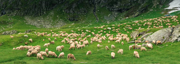 panoramic image of sheep herd in mountains stock photo