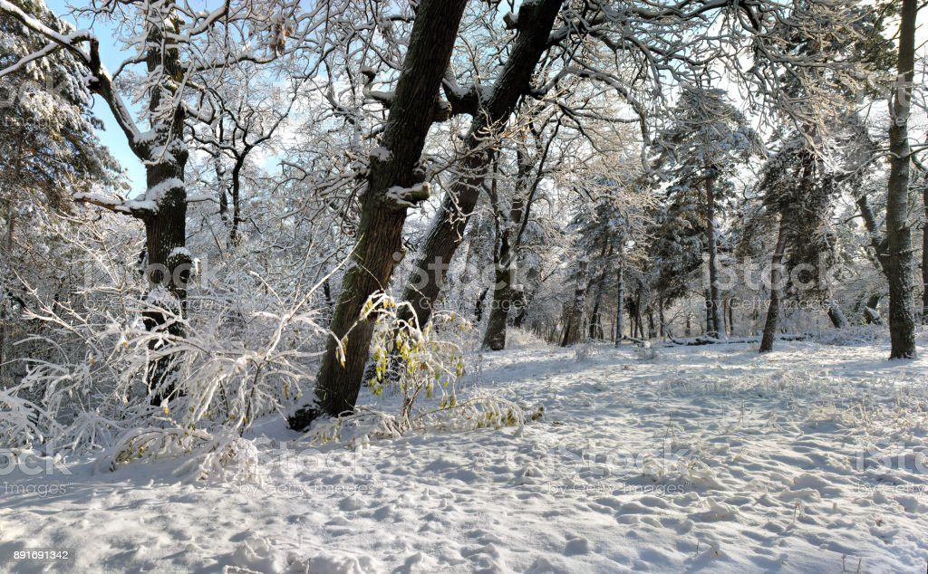 panoramic image of winter forest stock photo