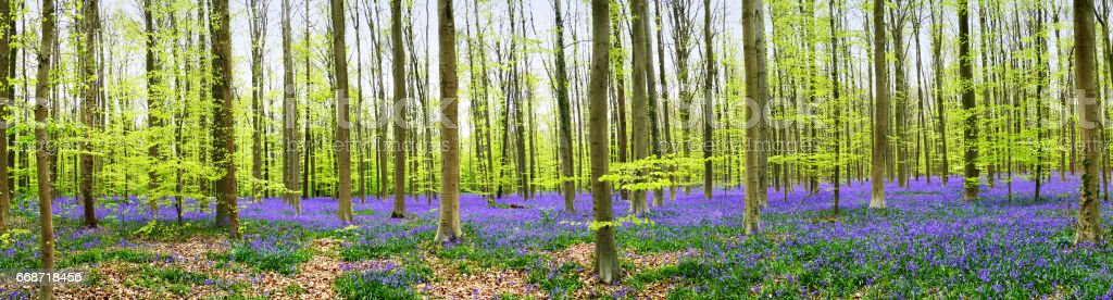 Panoramic landscape of blooming bluebells in the Hallerbos, a forest in Halle, Belgium stock photo