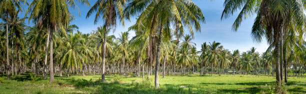 Panoramic landscape of tropical coconut trees forest in Khanh Hoa province, Viet Nam stock photo