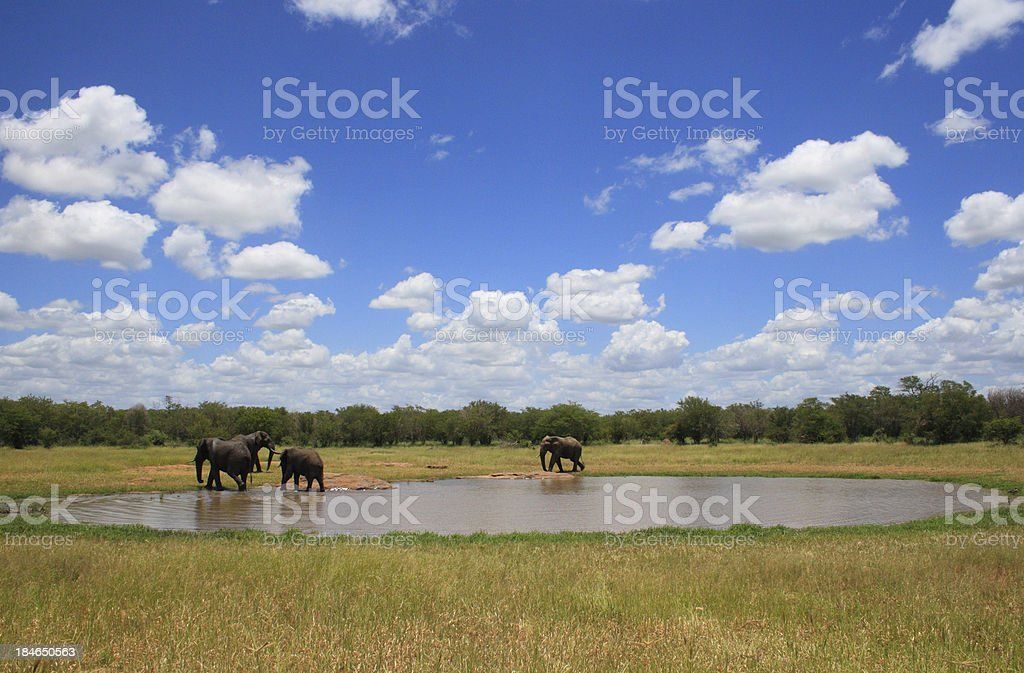 panoramic natural pan photograph, with three african elephants drinking nearby royalty-free stock photo