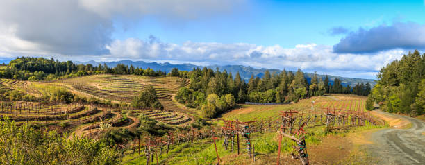 A Panoramic of a Terraced Vineyard A panoramic of Napa valley vineyards late in the afternoon with fluffy white clouds, trees and a road to the right side. sonoma stock pictures, royalty-free photos & images