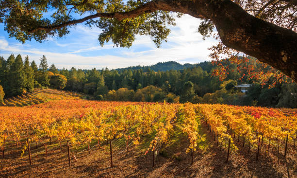 Panoramic of a Vineyard in Late Afternoon stock photo