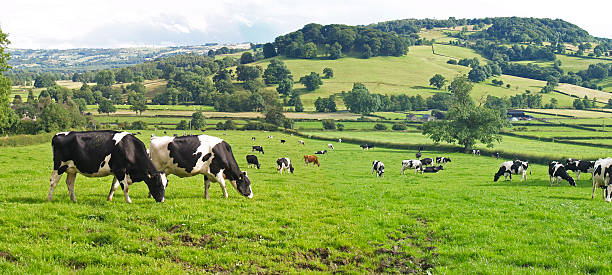 Panoramic of Dairy Cows  dairy farm stock pictures, royalty-free photos & images