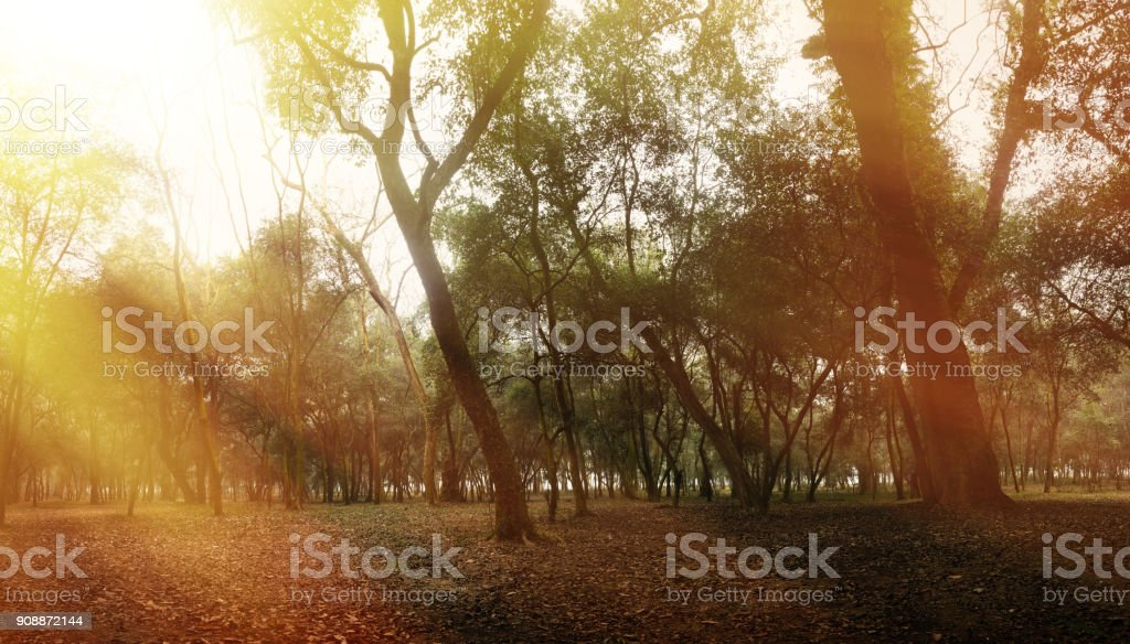 Panoramic of sunlight warms through banyan forest stock photo