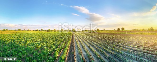 istock Panoramic photo of a beautiful agricultural view with pepper and leek plantations. Agriculture and farming. Agribusiness. Agro industry. Growing Organic Vegetables 1187625184