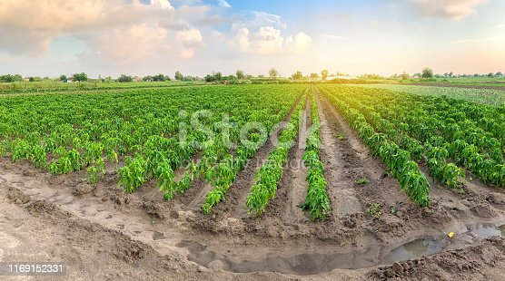 istock Panoramic photo of a beautiful agricultural view with pepper plantations. Agriculture and farming. Agribusiness. Agro industry. Growing Organic Vegetables 1169152331